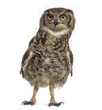 Spotted eagle-owl - Bubo africanus Royalty Free Stock Image