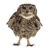 Spotted eagle-owl - Bubo africanus Stock Image