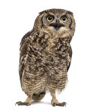 Spotted eagle-owl - Bubo africanus Stock Photo
