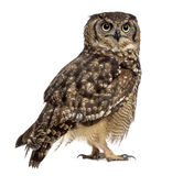 Spotted eagle-owl - Bubo africanus Royalty Free Stock Photography