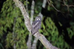 Spotted eagle-owl Royalty Free Stock Photo