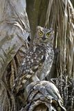 Spotted Eagle-Owl (Bufo Africanus)