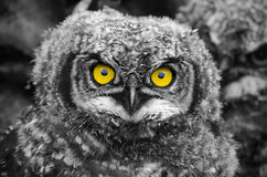 Spotted Eagle Owl chick Royalty Free Stock Photography