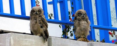 Spotted Eagle Owl chicks dozing. 2 spotted eagle owl Bubo Africanus chicks dozing in the late afternoon on a patio of a beach home in Still Bay, South Africa stock photo