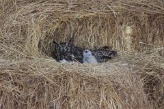 Spotted Eagle Owl with chicks Stock Images
