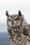 Spotted Eagle Owl Stock Photos