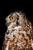 Spotted Eagle-Owl Stock Photos