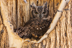 Spotted Eagle Owl Royalty Free Stock Photo