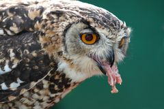 Spotted Eagle Owl Eating Stock Photos
