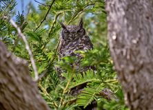 African Owl royalty free stock photography