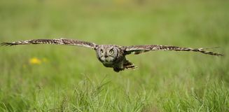 Spotted Eagle Owl in flight Stock Photos