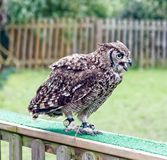 Spotted African eagle owl . Royalty Free Stock Photo