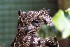 Spotted Eagle Owl with only one eye in bird rescue station stock photos