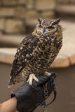 Spotted Eagle Owl Perched on a Hand Stock Photo