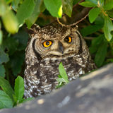 Spotted Eagle Owl Portrait Royalty Free Stock Images