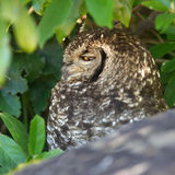 Spotted Eagle Owl Portrait Stock Image