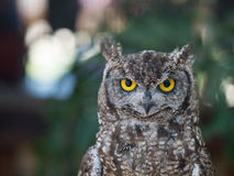 Spotted Eagle Owl portrait with Bokeh Background Stock Photos