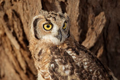 Spotted eagle-owl Royalty Free Stock Photos