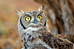 Spotted eagle-owl portrait - South Africa Stock Images