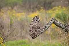 Spotted eagle-owl Royalty Free Stock Images