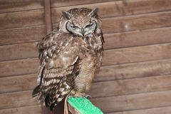 Spotted eagle-owl Stock Image
