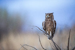 Spotted Eagle Owl Stock Photography