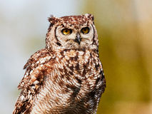 Spotted eagle-owl in a tree Royalty Free Stock Photography