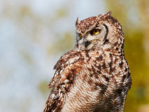 Spotted eagle-owl in a tree Stock Image