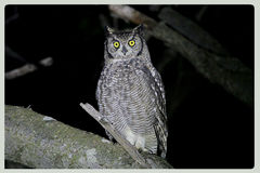Spotted Eagle Owl Royalty Free Stock Images