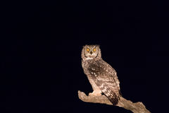 Spotted Eagle Owl Watching You In The Dark Stock Photography