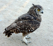 Spotted Eagle Owl Stock Image