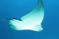 Spotted Eagle Ray Stock Images