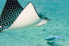 Spotted eagle ray. (aetbatis narinari Stock Photo