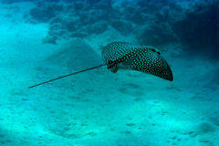 Spotted eagle ray. (aetbatis narinari Stock Image