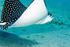 Spotted eagle ray. (aetbatis narinari Royalty Free Stock Photo