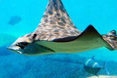 Spotted Eagle Ray. A spotted eagle ray in the water stock image