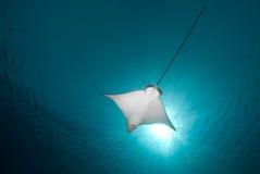 Spotted eagle ray (Aetobatis narinari) Royalty Free Stock Photography
