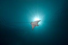 Spotted eagle ray (Aetobatis narinari) Stock Photo