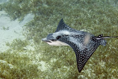Spotted Eagle Ray (Aetobatus narinari). Taken in Na'ama Bay Stock Photos