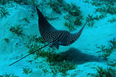 Spotted Eagle Ray (Aetobatus narinari) Royalty Free Stock Photos