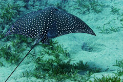 Spotted Eagle Ray (Aetobatus narinari) royalty free stock photo