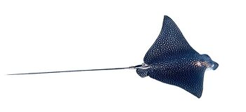 Free Spotted Eagle Ray Aetobatus Narinari Isolated On A White Background. Close Up Of Dangerous Underwater Leopard Stingray Soaring Stock Images - 183617414