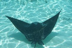 Spotted eagle ray Aetobatus narinari stock photo