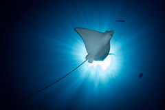 Spotted Eagle Ray -  Aetobatus ocellatus - swimming under the sun. Stock Images