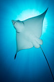 Spotted Eagle Ray -  Aetobatus ocellatus - swimming under the sun. Stock Image