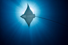 Spotted Eagle Ray -  Aetobatus ocellatus - swimming under the sun. Royalty Free Stock Photos