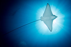 Spotted Eagle Ray -  Aetobatus Ocellatus - Swimming Under The Sun.