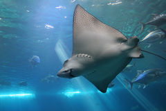 Free Spotted Eagle Ray And Giant Tr Stock Photography - 3221782