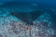 Spotted Eagle Ray in Cocos Island. A Spotted eagle ray, Aetobatus laticeps, cruises over the deep seafloor near Cocos Island, Costa Rica. This remote island is royalty free stock images