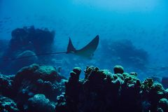 Spotted Eagle Ray stock photo